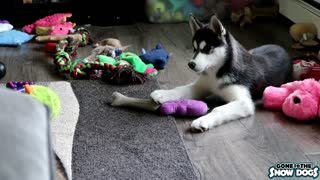 Husky Puppy Tells Sister that the Toy is HERS