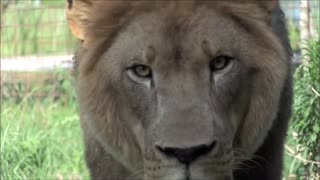 Lion is about to jump on the camera man