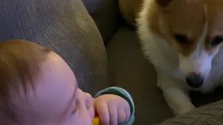 Baby Giggling While Playing with Corgi