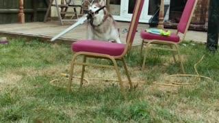 Sword Swinging Dog Protects Backyard