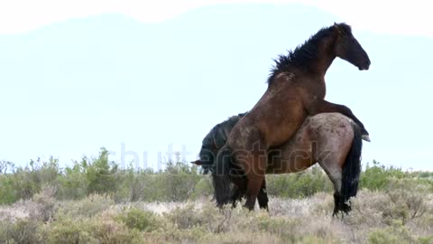 tow horses fight