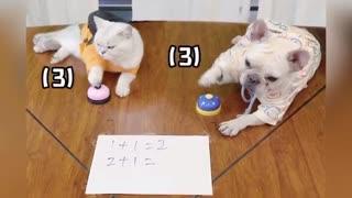 Funny French Bulldog Acting Like A Human