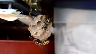 Wasps Build Nests - Footage By peakring.com