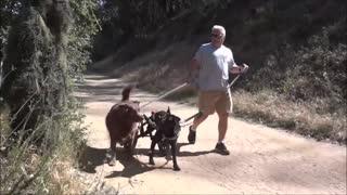 Bushman funny prank on dogs