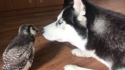 Baby owl befriended by loving husky