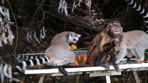 Monkey Eating With Lemurs