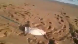 Fishing sting Ray