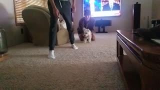 Nugget the Westie VS Jake