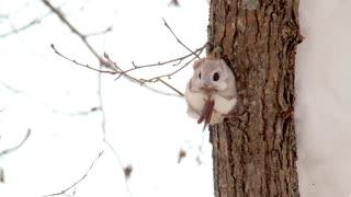 Ezo flying squirrel :D