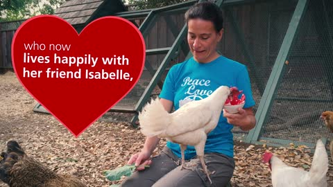 Watch this chicken do card tricks!