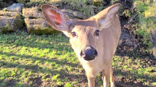 Curious wild deer comes looking for some tasty treats