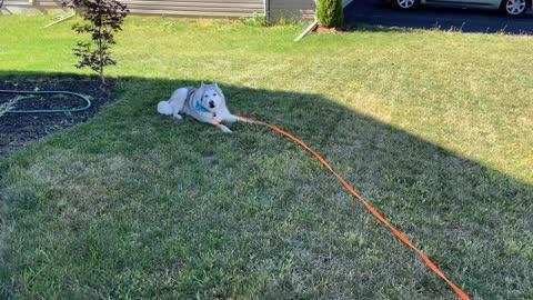Patient dog is tired of stubborn husky's antics