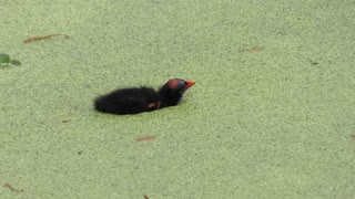 Common Gallinule feeds its chick in Florida wetland