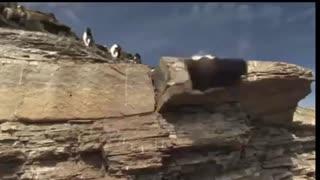 Funny Animal Video penguin