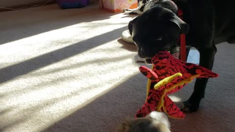 Puppy and Pug Tug of War