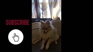 Cute Dog Dancing for reward.