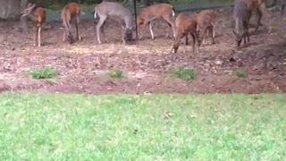 Deer browsing around the house
