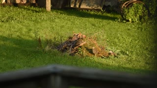 Turkeys in the yard