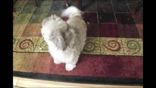 Cody The Screaming Dog