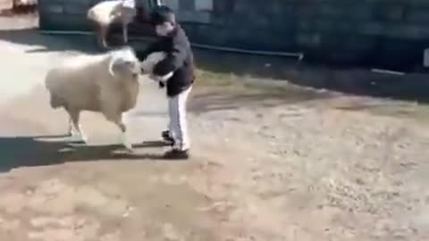 The child trains the sheep to butt a soccer ball