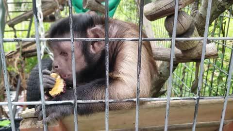 Monkey Thief! A Capuchin Monkey Steals a Granola Bar