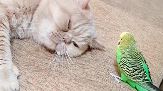 Pesky parrot won't let cat best friend take a nap