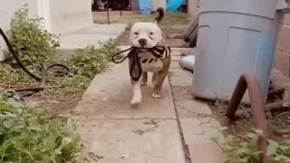Pit Bull just loves to carry his own leash