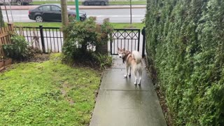 Husky dog wanting to go for walk
