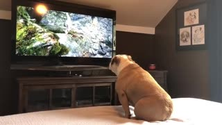 Funny bulldog icreasable reaction