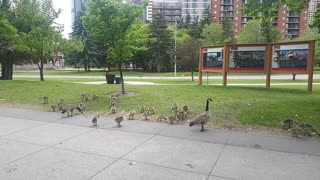 Canada geese and little ones