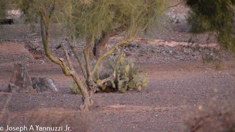 Sonoran Desert Coyote
