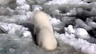 Polar bear first attempt at swimming