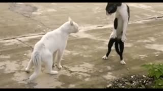 Cats Fight funny video