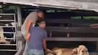 video funny 😂 try help this cow 🐮