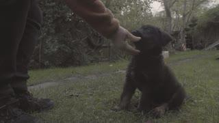 Shepweiler puppy training
