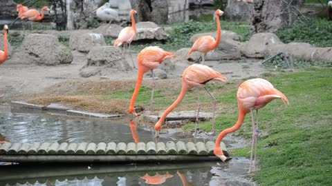 Flamingos drinking from a pond -With beautiful music
