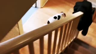 Funny baby in walker trying to catch my JRT