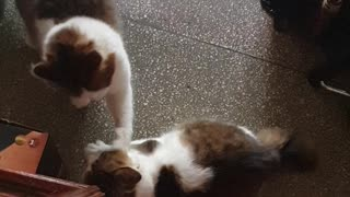 Funny cats fighting 🤣