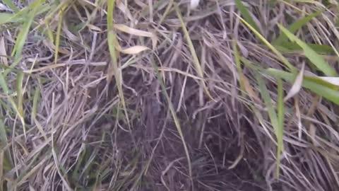 [Jararaca pit viper] hidden in the grass