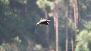 Hawk Appears to Hover During Hunt