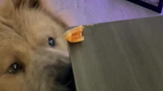 Puppy Dog Struggles to Snatch Pizza Roll From Table
