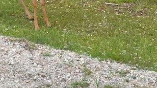 Encounters of the Deer Kind