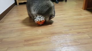 Raccoon plays with the soccer ball