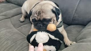 Pugsley's Penguin