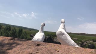 Fearless doves.