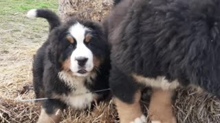 Bernese puppies climb to top of straw mountain