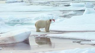 Polar Bear Plays with a Piece of its Prey