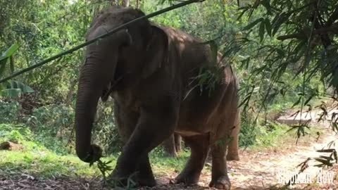 Elephants in A forest Eating leaves