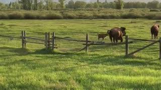 Fence Interrupts Spring Bison Migration