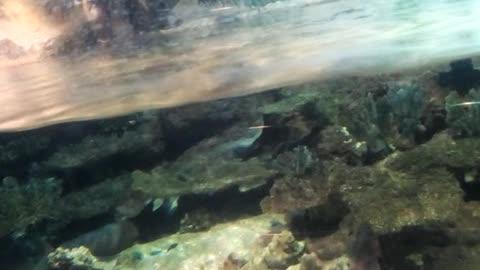 talking fish stingray